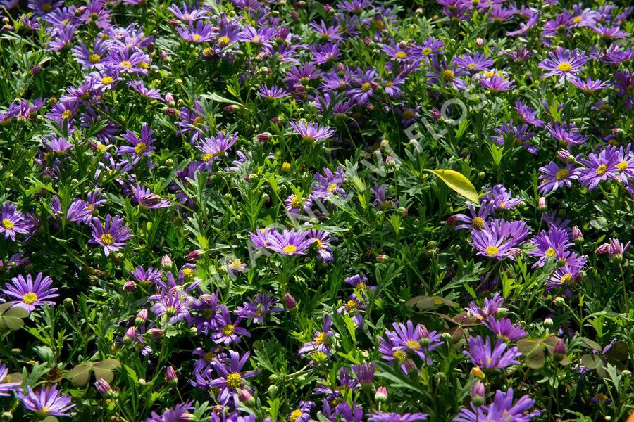 Všelicha, brachykome 'Balou Violet' - Brachyscome multifida 'Balou Violet'