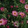 Kopretina pařížská 'Madeira Deep Pink' - Argyranthemum frutescens 'Madeira Deep Pink'