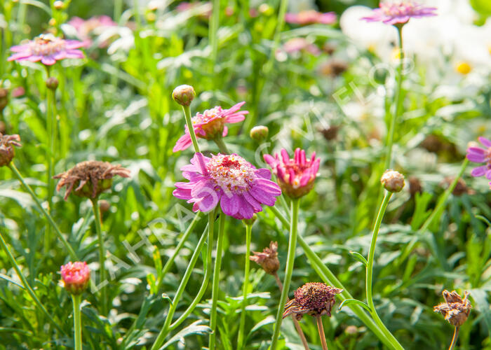 Kopretina pařížská 'Aramis Semi Double Dark Pink' - Argyranthemum frutescens 'Aramis Semi Double Dark Pink'
