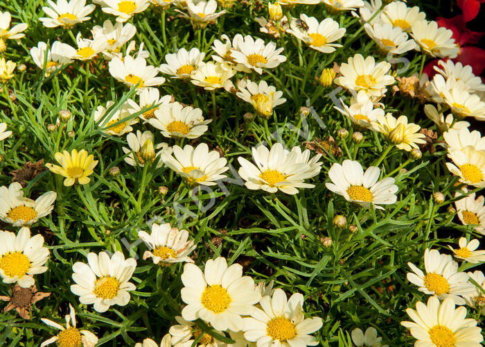 Kopretina pařížská 'Aramis Lemon' - Argyranthemum frutescens 'Aramis Lemon'