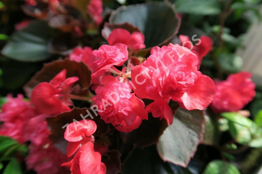 Begónie stálokvětá, ledovka, voskovka 'Doublet Red' - Begonia semperflorens 'Doublet Red'