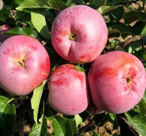 Jabloň zimní 'Florina' - Malus domestica 'Florina'