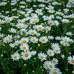 Kopretina pařížská 'Aramis Giga White' - Argyranthemum frutescens 'Aramis Giga White'
