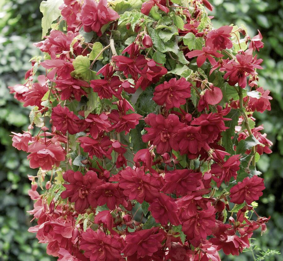 Begónie hlíznatá 'Illumination Scarlet' - Begonia tuberhybrida 'Illumination Scarlet'