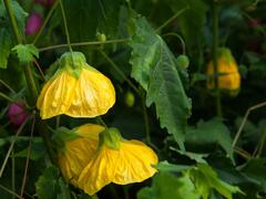Mračňák 'Yellow' - Abutilon hybridus 'Yellow'