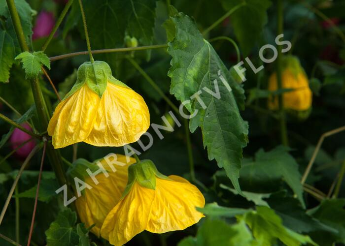 Mračňák 'Yellow' - Abutilon hybridus 'Yellow'