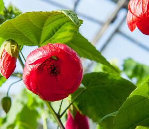 Mračňák 'Rosa' - Abutilon hybridus 'Rosa'