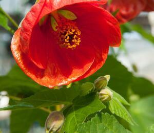 Mračňák 'Red' - Abutilon hybridus 'Red'