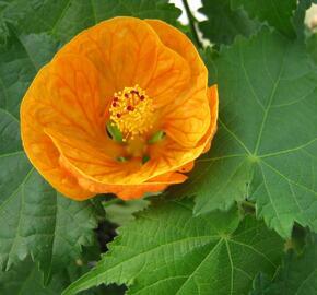 Mračňák 'Orange' - Abutilon hybridus 'Orange'