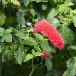 Kočičí ocásek, palnice - Acalypha hispaniolae