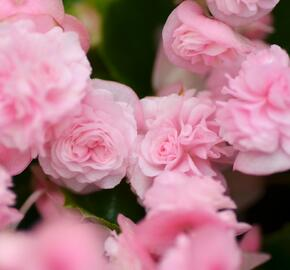 Begónie stálokvětá, ledovka, voskovka 'Paso Doble Candy Pink' - Begonia semperflorens 'Paso Doble Candy Pink'