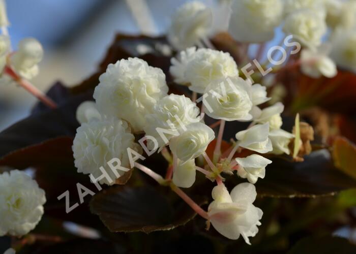 Begónie stálokvětá, ledovka, voskovka 'Doublet White' - Begonia semperflorens 'Doublet White'