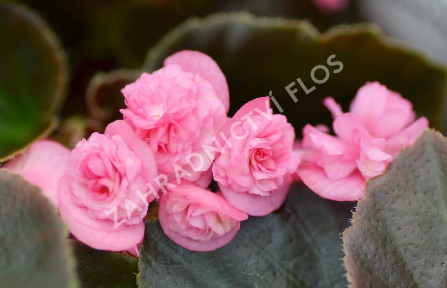 Begónie stálokvětá, ledovka, voskovka 'Doublet Rose' - Begonia semperflorens 'Doublet Rose'