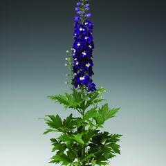 Ostrožka 'Excalibur Dark Blue with White Bee' - Delphinium x cult. 'Excalibur Dark Blue with White Bee'