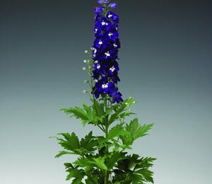 Ostrožka 'Excalibur Dark Blue with White Bee' - Delphinium x cult. 'Excalibur Dark Blue with White Bee'