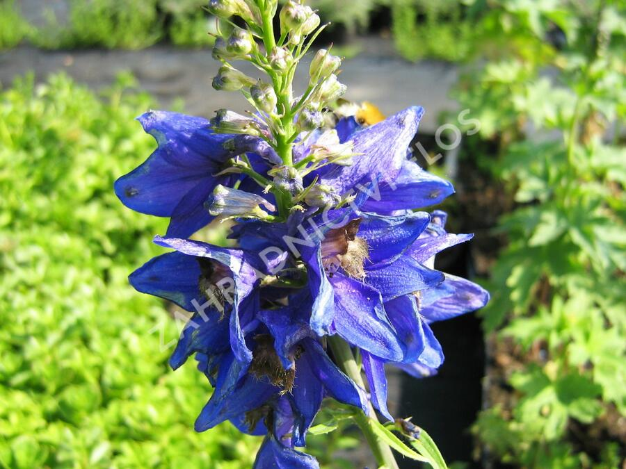 Ostrožka 'Excalibur Dark Blue with Black Bee' - Delphinium x cult. 'Excalibur Dark Blue with Black Bee'