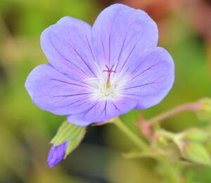 Kakost 'Brookside' - Geranium 'Brookside'
