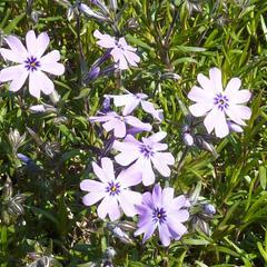 Plamenka šídlovitá 'Purple Beauty' - Phlox subulata 'Purple Beauty'