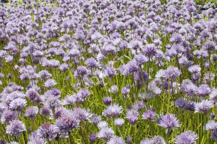 Pažitka pobřežní - Allium schoenoprasum