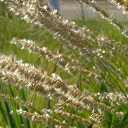 Strdivka brvitá - Melica ciliata