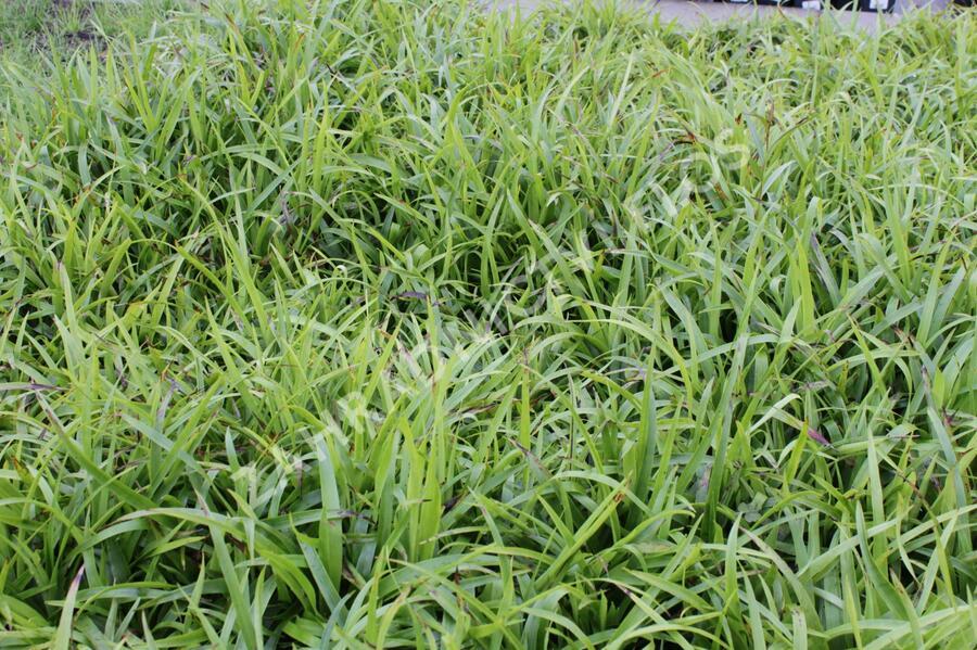 Bika lesní 'Auslese' - Luzula sylvatica 'Auslese'