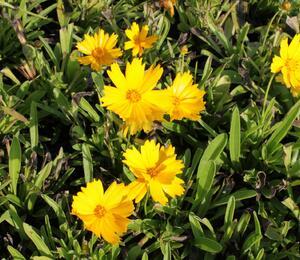 Krásnoočko velkokvěté 'Illico' - Coreopsis grandiflora 'Illico'