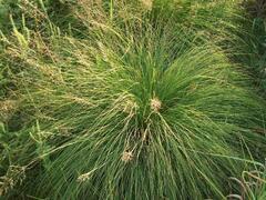 Opadavec - Sporobolus heterolepis