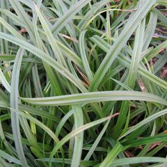 Ostřice lesní - Carex sylvatica