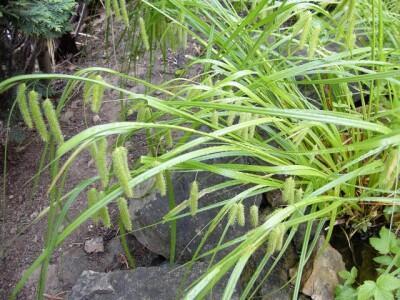 Ostřice nedošáchor - Carex pseudocyperus