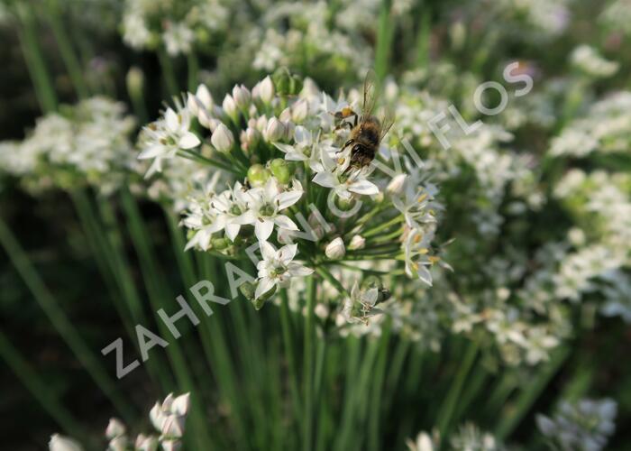 Pažitka čínská - Allium tuberosum