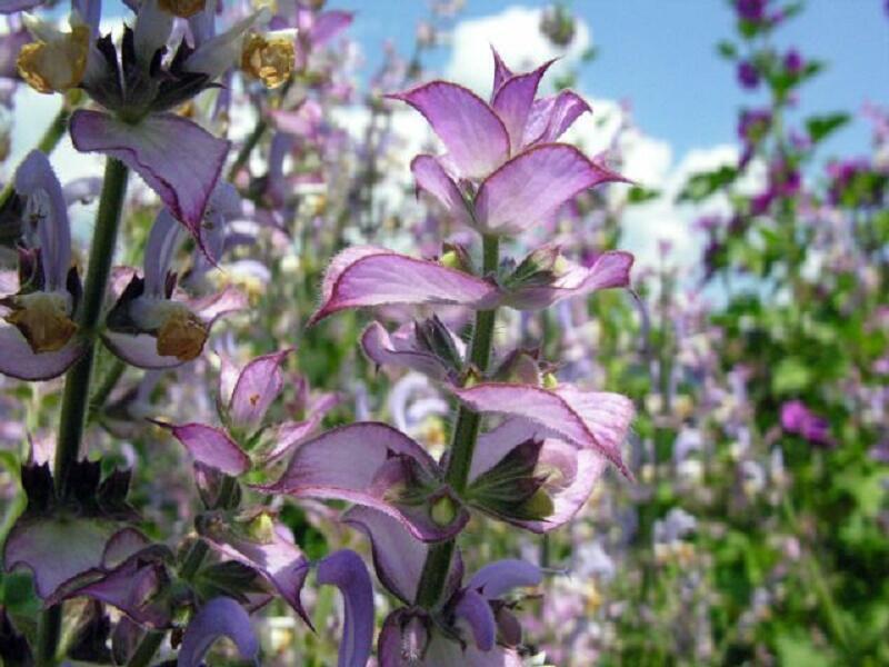 Šalvěj muškátová - Salvia sclarea
