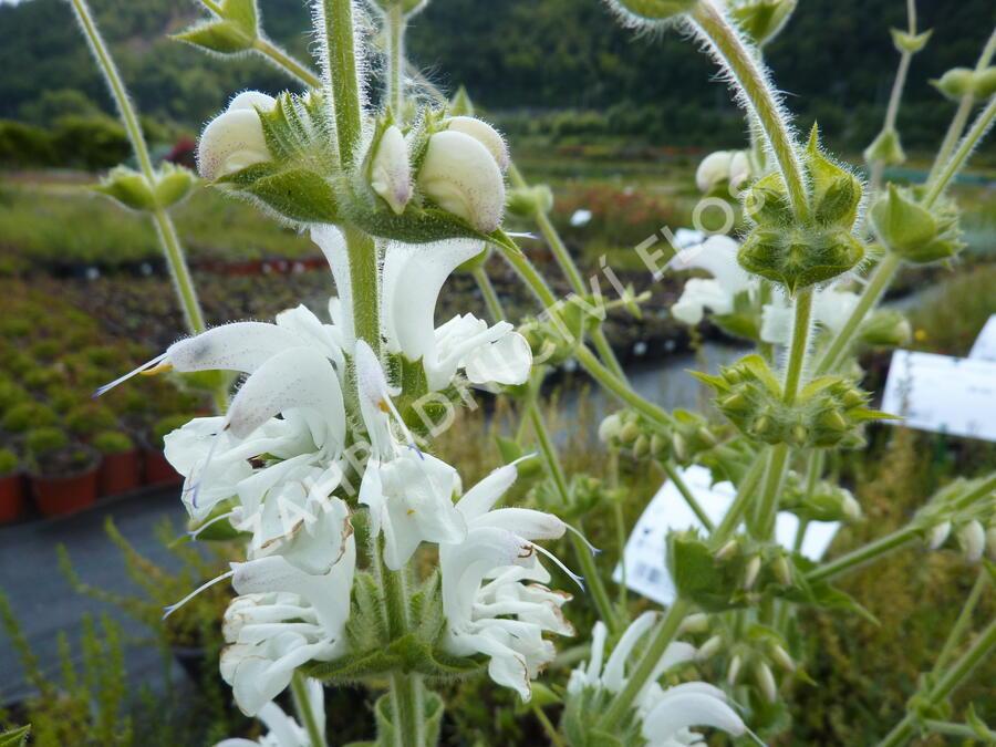 Šalvěj stříbřitá - Salvia argentea