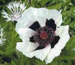 Mák východní 'Royal Wedding' - Papaver orientale 'Royal Wedding'