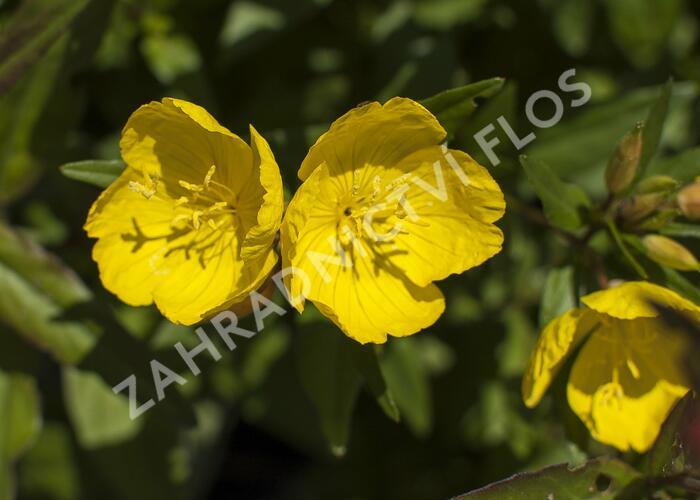 Pupalka čtyřhranná  (glauca) - Oenothera tetragona (glauca)