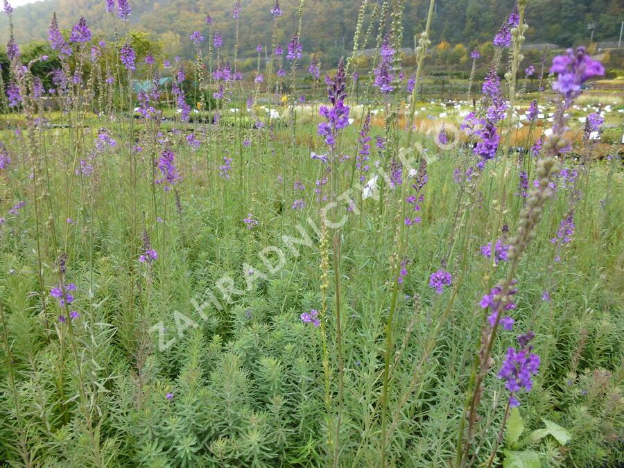 Lnice nachová - Linaria purpurea