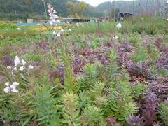 Lnice nachová 'Canon J. Went' - Linaria purpurea 'Canon J. Went'