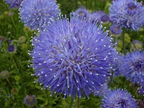 Pavinec 'Blaulicht' - Jasione laevis 'Blaulicht'