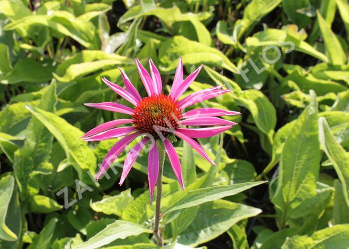 Třapatka nachová 'Rubinstern' - Echinacea purpurea 'Rubinstern'