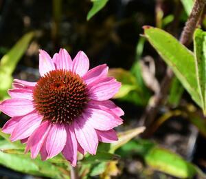 Třapatka nachová  'Baby Swan Pink' - Echinacea purpurea 'Baby Swan Pink'