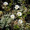 Rožec plstnatý 'Silberteppich' - Cerastium tomentosum 'Silberteppich'