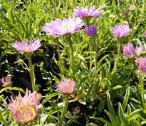 Hvězdnice alpská 'Happy End' - Aster alpinus 'Happy End'