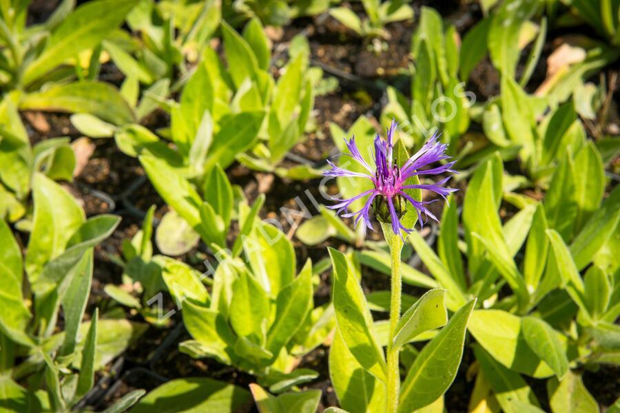Chrpa horská - Centaurea montana