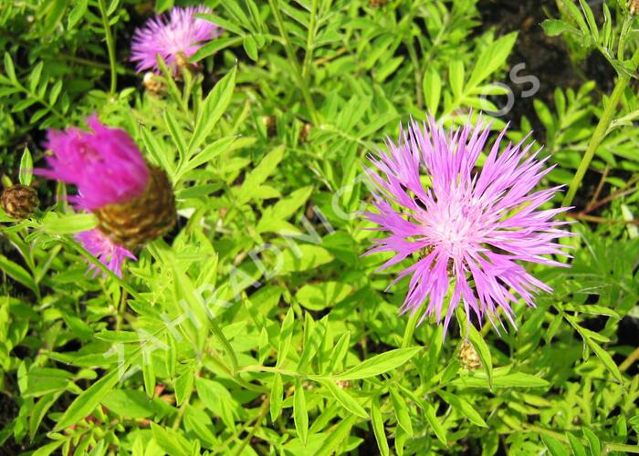 Chrpa bělavá - Centaurea dealbata