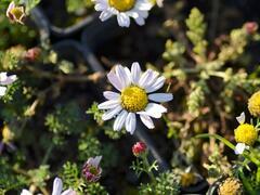 Kruhovník 'Silberkissen' - Anacyclus pyrethrum var. depressus 'Silberkissen'