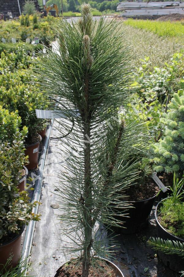 Borovice černá 'Fastigiata' - Pinus nigra 'Fastigiata'