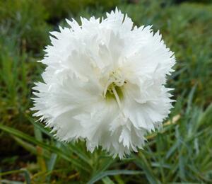 Hvozdík péřitý 'Albus' - Dianthus plumarius 'Albus'