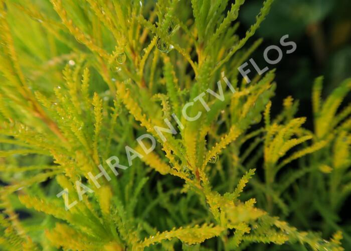 Svatolina 'Lemon Fizz' - Santolina virens 'Lemon Fizz'