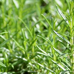 Rozmarýn lékařský 'Perigold' - Rosmarinus officinalis 'Perigold'
