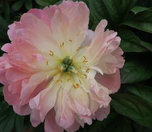 Pivoňka bělokvětá 'Pink Hawaiian Coral' - Paeonia lactiflora 'Pink Hawaiian Coral'