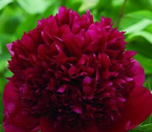 Pivoňka bělokvětá 'Red Charm' - Paeonia lactiflora 'Red Charm'